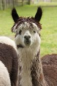 stock photo of alpaca  - An alpaca at a commercial Alpaca farm - JPG