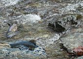 stock photo of upstream  - Fish playing in the river water during salmon run - JPG