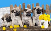 pugs puppies and dandelions on a retro background