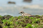 Ringed Plover Resting In Seaweed On The Beach