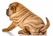 stock photo of shar-pei puppy  - chinese shar pei puppy isolated on white background  - JPG
