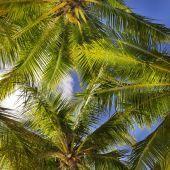Tropical Background Of Coconut Palm Leaves
