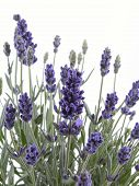image of lavender plant  - bunch of fresh lavender isolated on white