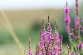 stock photo of marsh grass  - purple wild marsh flowers growing in summer over out of focus green meadow background - JPG
