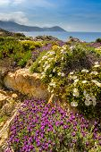 Purple And White Flowers In The Maquis At La Revellata Near Calvi In Corsica