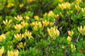 pic of molly  - Twigs with yellow colored buds of a Japanese Azalea or Rhododendron molle subsp. japonicum shrub. ** Note: Shallow depth of field - JPG
