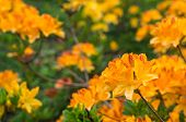 picture of molly  - Twigs with orange and yellow colored blossoms of a Japanese Azalea or Rhododendron molle subsp. japonicum shrub in a park. ** Note: Shallow depth of field - JPG