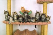 Ten Kitties Of The Sort Maine Coon