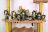 Ten Kitties Of The Sort Maine Coon
