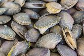 foto of clam  - Closeup fresh raw Surf clam backgroundSurf clam Short necked clam Carpet clam Venus shell Baby clam Paphia undulata Veneridae.