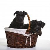 stock photo of schnauzer  - Two black miniature schnauzer puppies - JPG