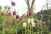 Fritillaria meleagris flowers outdoors in the garden
