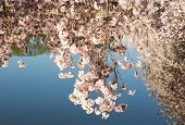 Reflections Below The Cherry Blossoms