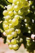 Grapes In Australian Vineyard, Victoria