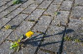 Dandelions Grow Between Concrete Pavement