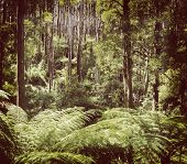 foto of mountain-ash  - Lush green ferns tree ferns and towering mountain ash along the Black Spur Victoria Australia filtered - JPG