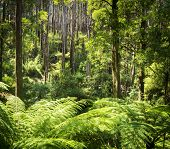 image of mountain-ash  - Lush green ferns tree ferns and towering mountain ash along the Black Spur Victoria Australia - JPG