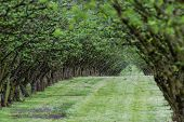 pic of hazelnut tree  - well manicured and maintained hazelnut tree farm in Oregon - JPG