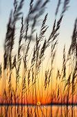 Reed at sunset