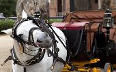 stock photo of gaul  - white horse with a carriage for inspection routes in the Andalusian sevilla - JPG