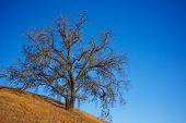 Golden Oak On Hillside