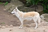 Tundra Wolf (canis Lupus Albus)