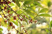 coffee beans grow on tree
