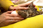 stock photo of caress  - girl caresses cute sleeping kitten on yellow surface - JPG