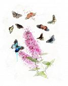 pic of butterfly-bush  - Watercolor Digital Painting Of Buddleja  - JPG