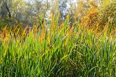 picture of bulrushes  - Bulrush leaves close to the lake in autumn - JPG
