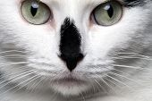 stock photo of fine art portrait  - closeup portrait white cat with black nose - JPG