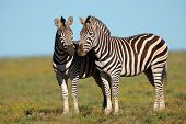 A pair of plains Zebras (Equus burchelli), South Africa