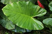 image of elephant ear  - Tropical Elephant Ear Leaf with Red Flower in Guatemala - JPG