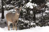 A lone male deer in a winter landscape
