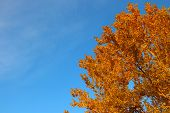 Aspen Crown In Golden Autumn Foliage On Background Of Blue Sky