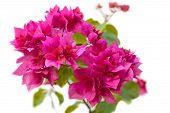 Pink Bougainvillea Blooms.