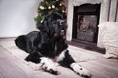 picture of newfoundland puppy  - adult Newfoundland in studio by the fireplace - JPG