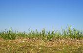 Australian Skyline With Long Green Grass Sugarcane Foliage