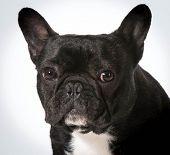french bulldog portrait on white background