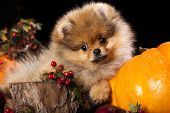 orange pomeranian puppy spitz