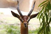 A beautiful gazelle