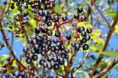 pic of elderberry  - Growing elderberry fruits on a background of blue sky  - JPG