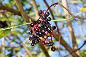 image of elderberry  - Growing elderberry unripe fruits on a background of blue sky  - JPG