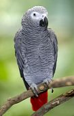 African Grey Parrot Sitting On Tree Branch, Africa