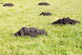Mole Hills In The Garden Lawn