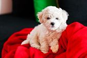 stock photo of bichon frise dog  - cute small bichon frise puppy posing indoors notice shallow depth of field - JPG