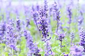 pic of salvia  - Blue Salvia  - JPG