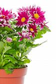 Bouquet Of Red  Chrysanthemum