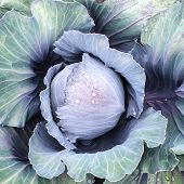Blue Cabbage In Raindrops