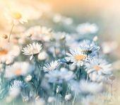 Meadow flowers - daisy